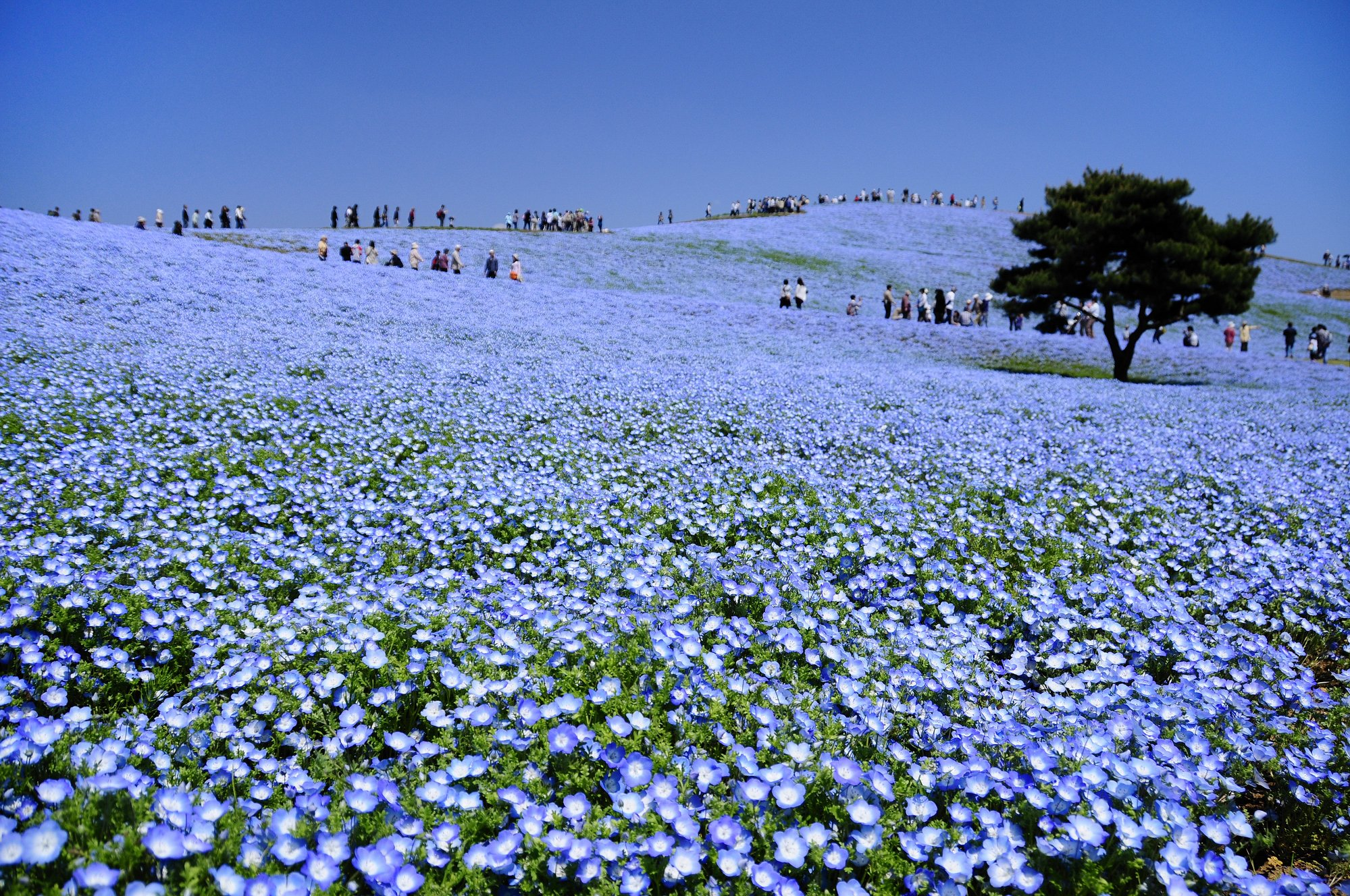 Baby Blue Eyes Flowers at Hitachi Seaside Park
