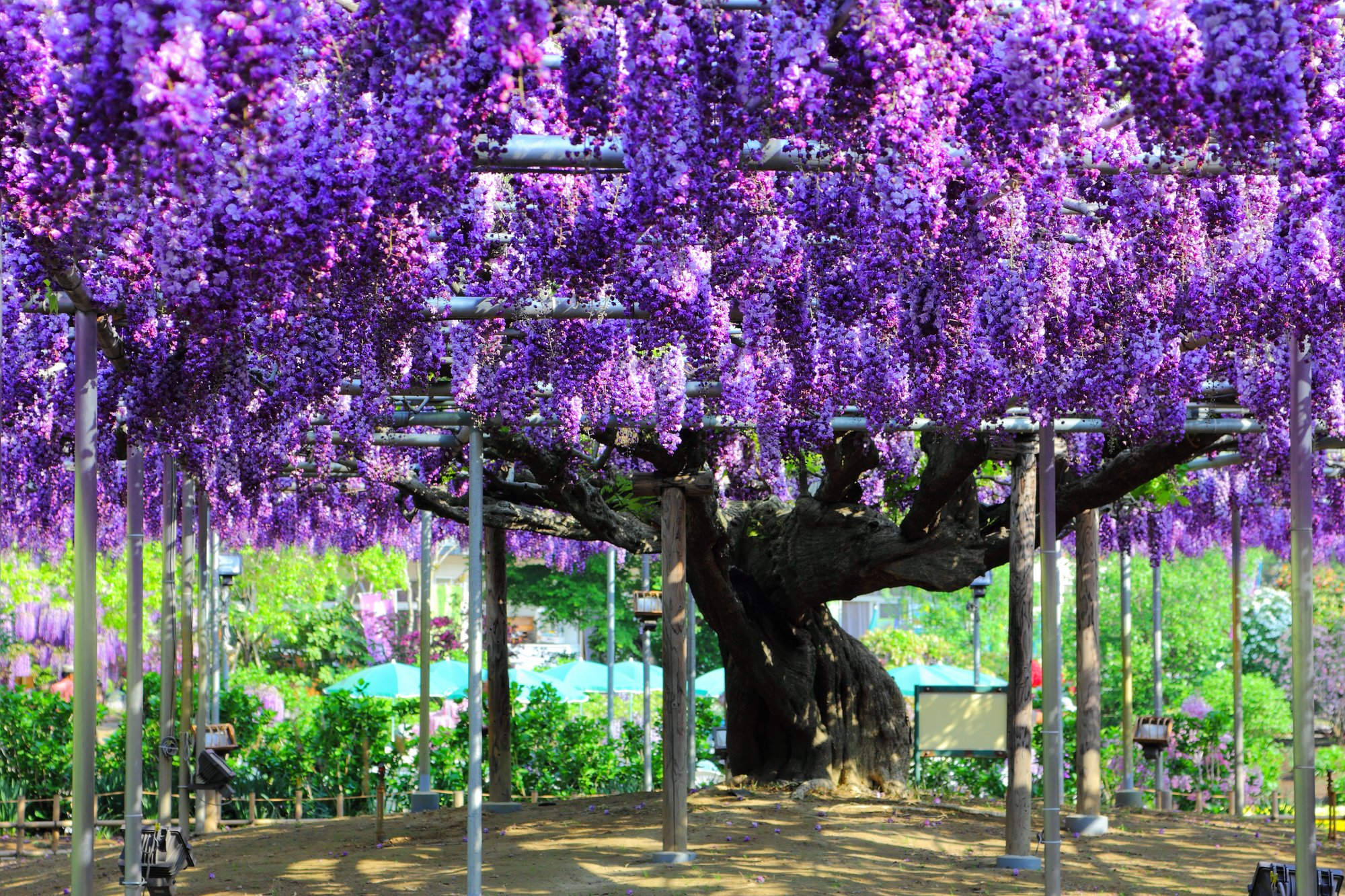 Great Wisteria at Ashikaga Flower Park