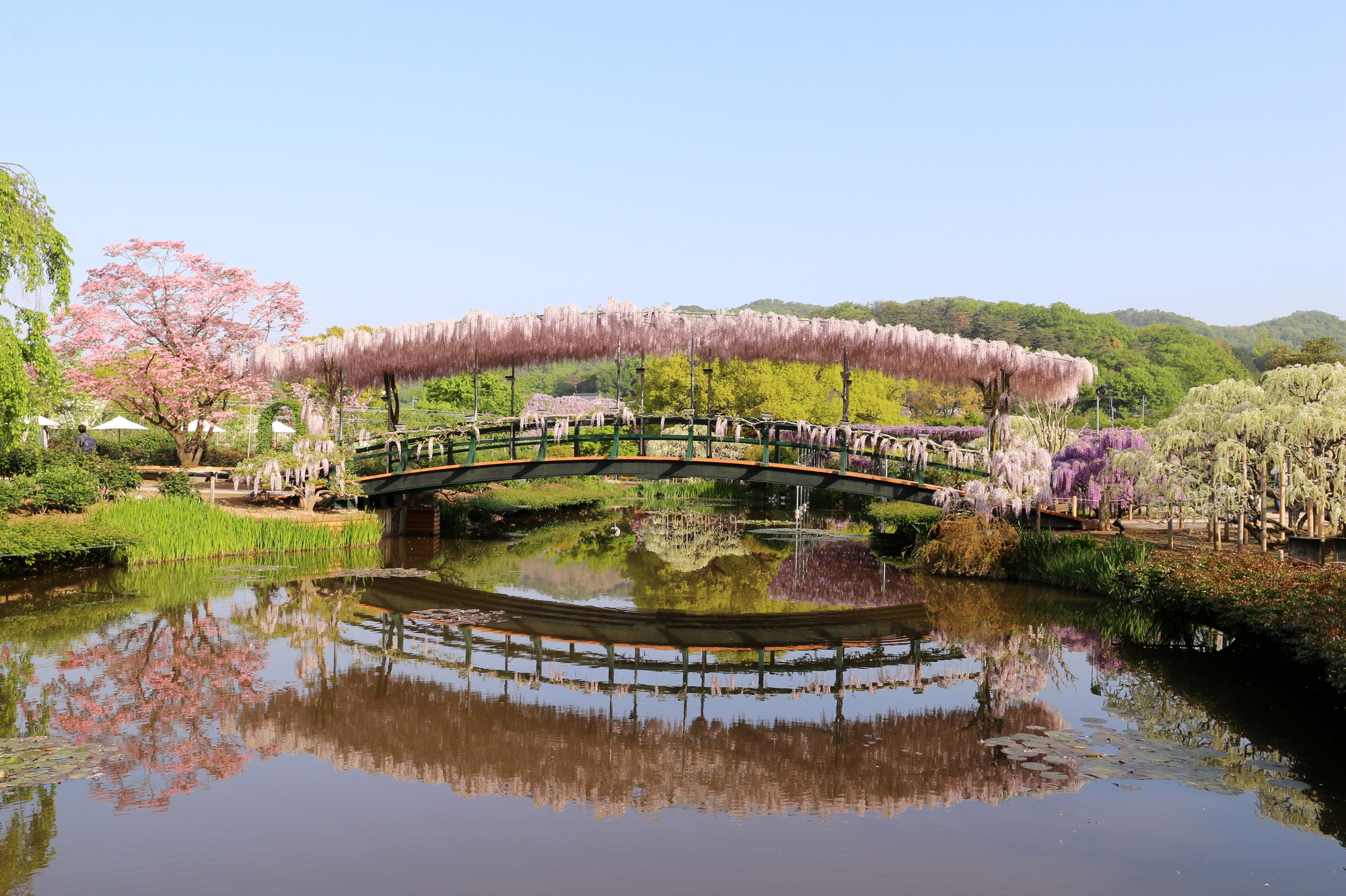 Grand Tour of Japan (Reverse): Cherry Blossoms & 
