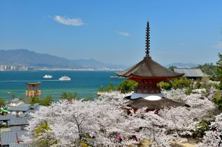 Charms of Southern Japan (Reverse): Cherry Blossom 