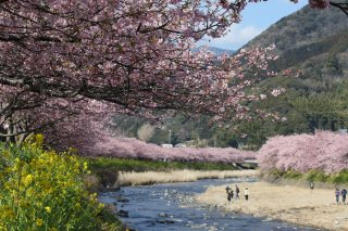 Charms of Hokkaido: Winter Festivals, Kawazu Cherry 