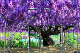 The Golden Triangle of Japan (Reverse): Great Wisteria at 