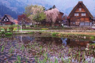 The Golden Triangle of Japan (Reverse): Cherry 