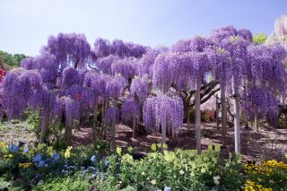 Signature: Essence of Japan - Wisteria & Fuji 