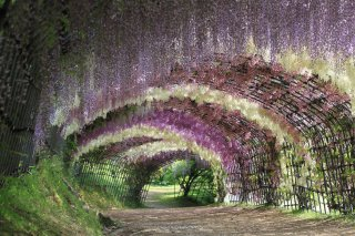 Best of Japan Tour Spring (Reverse): Wisteria Tunnel at 