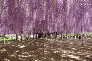 Charms of Northern Japan Tour (Reverse): Cherry 