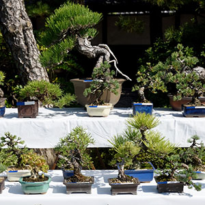 photo of Japanese Bonsai