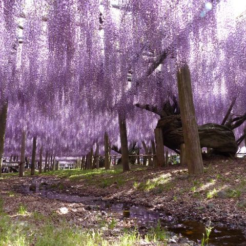 Japanese Flowers: When to See Wisteria in Japan | Tours