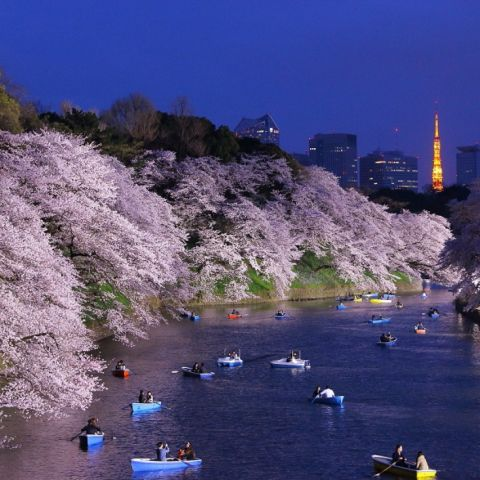 Where to See Cherry Blossoms in Tokyo
