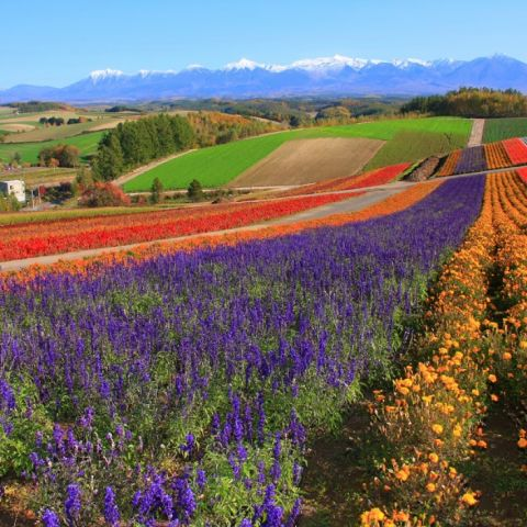 Japanese Flowers: When & Where to See Lavender Farms