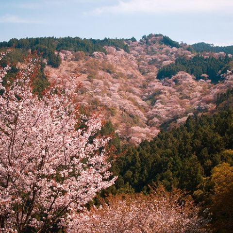 <h1>When Do Cherry Blossoms Bloom in Japan? (2021 Update)</h1>