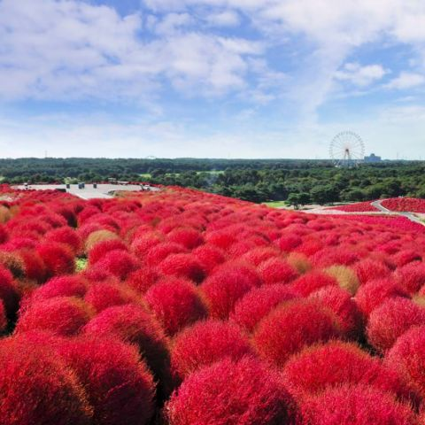 See Kochia (Summer Cypress) at Hitachi Seaside Park in Autumn