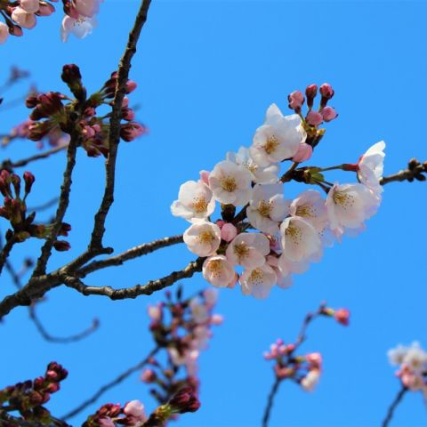 When Do Cherry Blossoms Bloom in Japan?