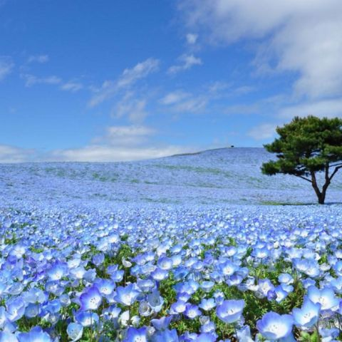 See Baby Blue Eyes Flowers at Hitachi Seaside Park in Spring