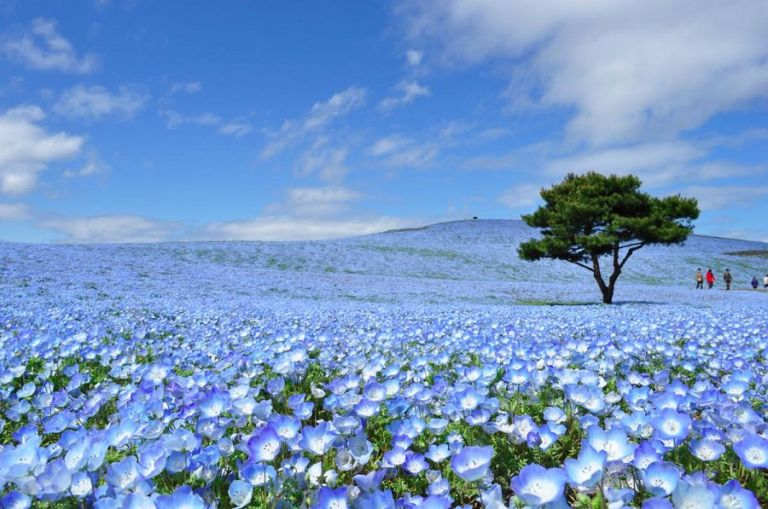 Baby Blue Eyes Flowers in Hitachi Seaside Park; Ibaraki Prefecuture; Best Time to Go to Japan; All Japan Tours