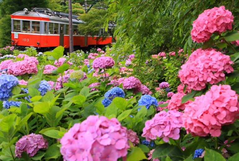 Hydrangea in Hakone; Best Time to Go to Japan; All Japan Tours; Japan Travel Blog