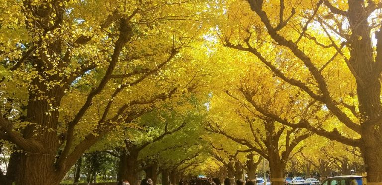 Meiji Jingu Gaien; Ginkgo Tree; Best Time to Go to Japan; All Japan Tours; Japan Travel Blog