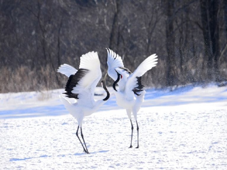 Aka International Crane Center; Things to Do in Hokkaido in Winter; Japanese Cranes; All Japan Tours