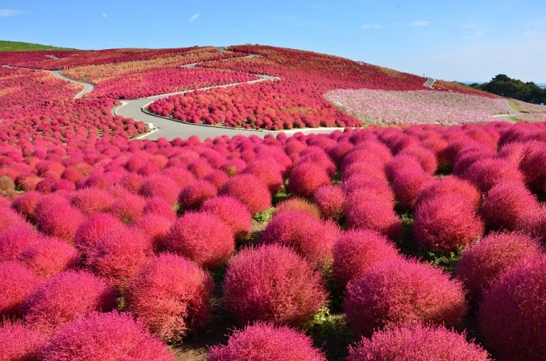 Hitachi Seaside Park Kokia Kochia Summer Cypress Autumn in Japan Ibaraki Prefecture Hitachinaka City Things to Do in Ibaraki Day Trip from Tokyo Where to go in Japan in Autumn Things to Do in Japan in October