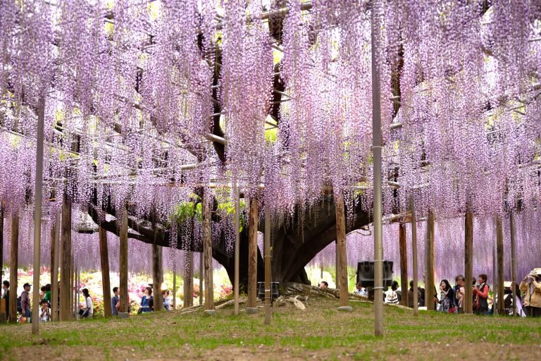Ashikaga Flower Park; Wisteria; Best Time to Go to Japan; All Japan Tours