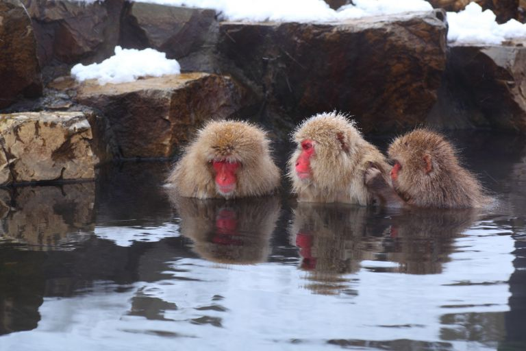 Snow Monkeys; Yudanaka Onsen; Jigokudani Monkey Park; Best Time to Go to Japan; All Japan Tours; Japan Travel Blog