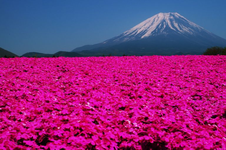 Mount Fuji Shibazakura Festival; Best Time to Go to Japan; All Japan Tours