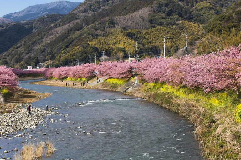 Kawazu Cherry Blossoms; Cherry Blossoms in Japan; Cherry Blossom Festival; Best Time to Go to Japan; All Japan Tours; Japan Travel Blog