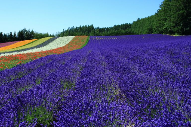Furano Lavender Field; Hokkaido; Best Time to Go to Japan; All Japan Tours; Japan Travel Blog