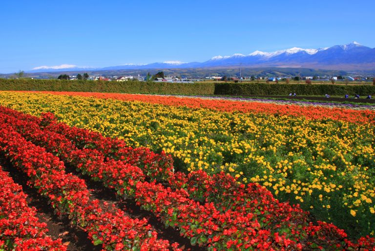 Farm Tomita; What to do in Hokkaido in Summer; All Japan Tours