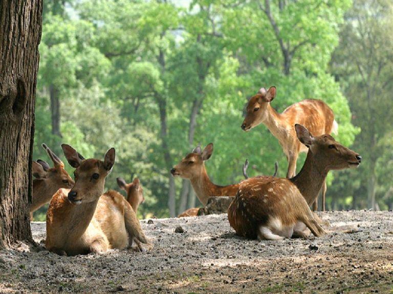 Nara Deer Park sika spotted Japanese domestic deer