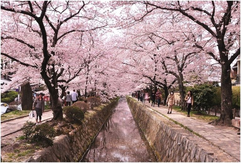 Cherry Blossom Festival Japan 2020 When is the Best Time to Visit Japan for Cherry Blossoms? Cherry