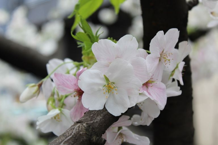 When Is The Best Time To Visit Japan For Cherry Blossoms Cherry