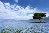 Baby Blue Eye Flowers at Hitachi Seaside Park