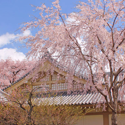 photo of vherry blossom in Japan