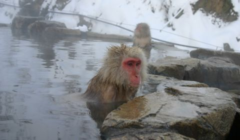 photo of Snow Monkeys